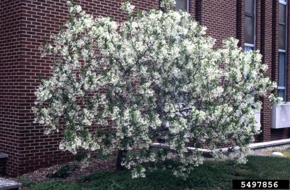 whitefringetree