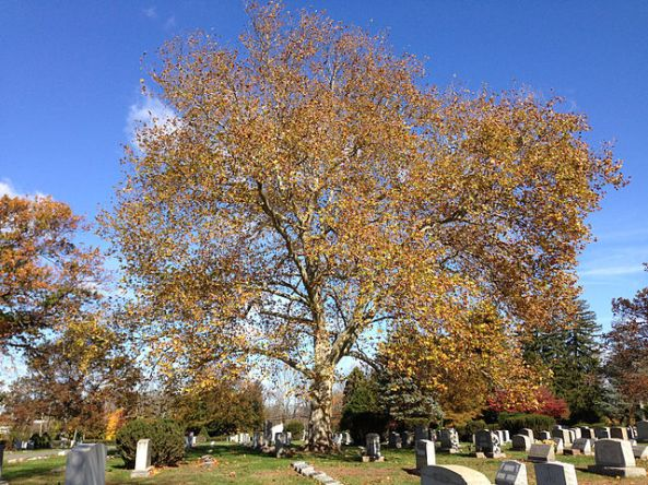 2014-11-02_12_00_54_American_Sycamore_during_autumn_at_the_Ewing_Presbyterian_Church_Cemetery_in_Ewing,_New_Jersey