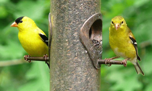Eastern_Goldfinch