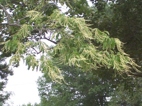 Oxydendrum arboreum. leaves and flowers, 7/15