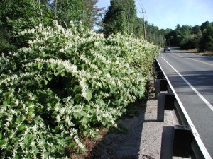 Japanese Knotweed along Highway
