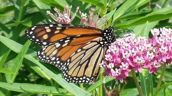 istock_000045324030_large_monarch