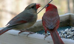 northern_cardinal_pair